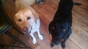 Cooper Yellow Lab and Tucker Black Lab